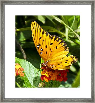 Framed Print featuring the photograph Butterfly On Lantana by Bill Barber