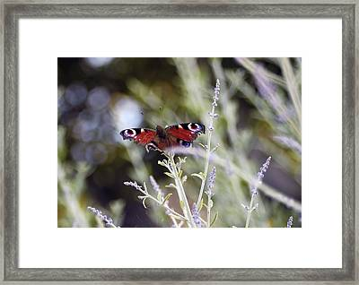 Butterfly On Lavender Framed Print by Mirinda Kossoff