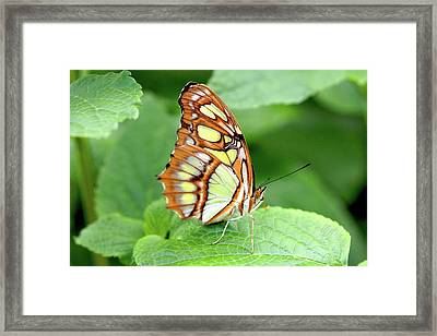 Butterfly On Leaf Framed Print