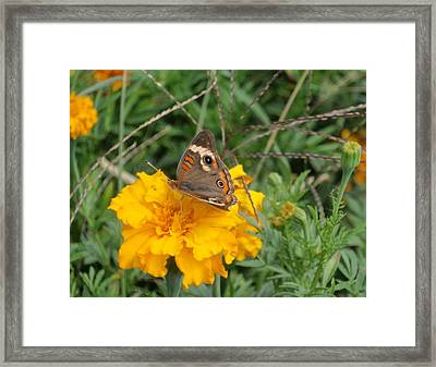 Framed Print featuring the photograph Butterfly On Marigold by Beth Akerman