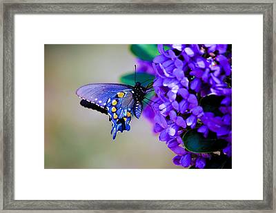 Butterfly On Mountain Laurel Framed Print by Debbie Karnes