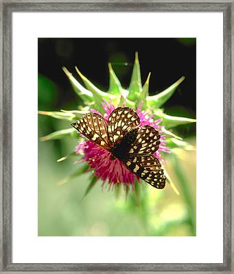 Butterfly On Thistle Framed Print