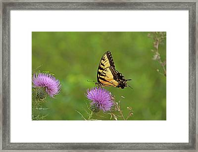 Butterfly On Thistle Framed Print by Sandy Keeton