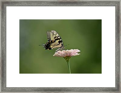 Framed Print featuring the photograph Butterfly On Zinnia by Wanda Krack