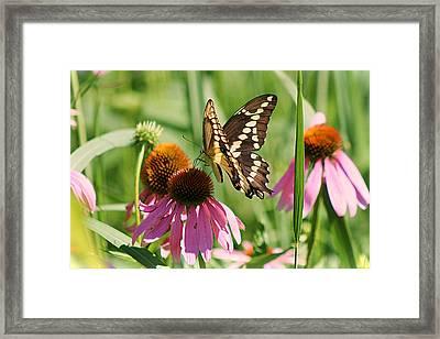 Butterfly Paradise Framed Print by John Ohm