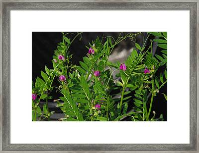 Butterfly Pea Framed Print by Robyn Stacey