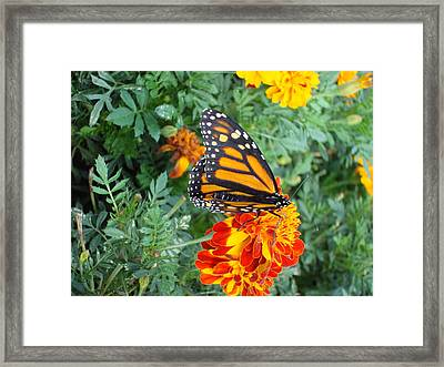 Butterfly Petals Framed Print by Christie Minalga
