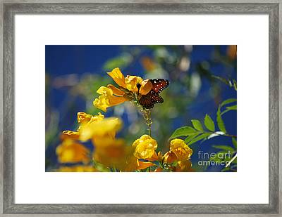 Butterfly Pollinating Flowers  Framed Print by Donna Greene