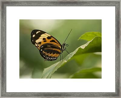 Butterfly Resting On The Leaf Framed Print by Jaroslaw Blaminsky