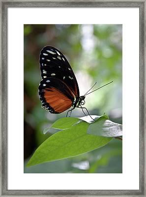 Butterfly Royalty Framed Print