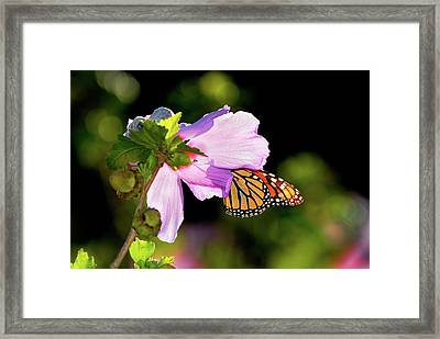 Butterfly Sunset Framed Print by Betty LaRue