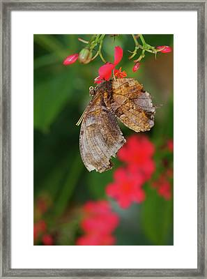 Butterfly Surrounded  By Red Framed Print