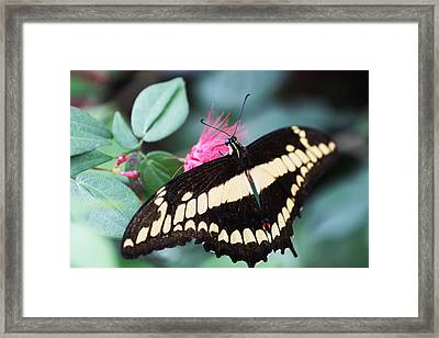 Butterfly Vi Framed Print by David Yunker