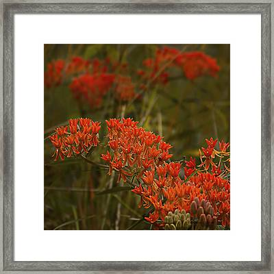 Butterfly Weed Asclepias Tuberosa Framed Print by Bellesouth Studio