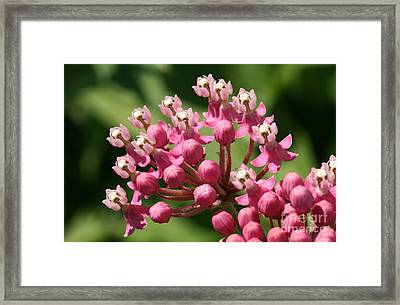 Butterfly Weed  Framed Print by Steve Augustin