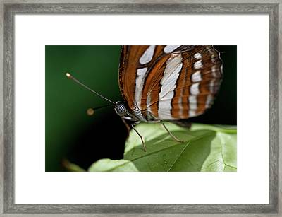 Butterfly Framed Print by Wilma  Birdwell