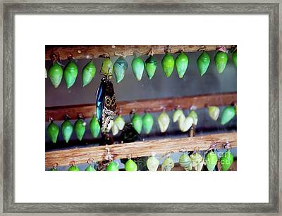 Butterfly With Butterfly Chrysalis 1 Framed Print by Andee Design