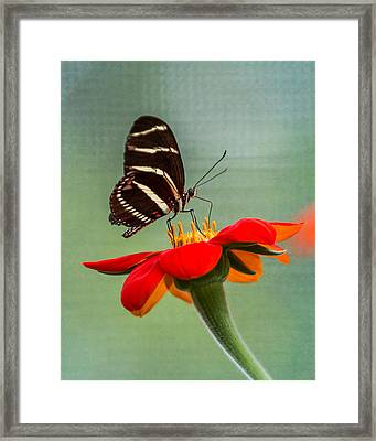 Butterfly Zebra Longwing On Zinnia Framed Print
