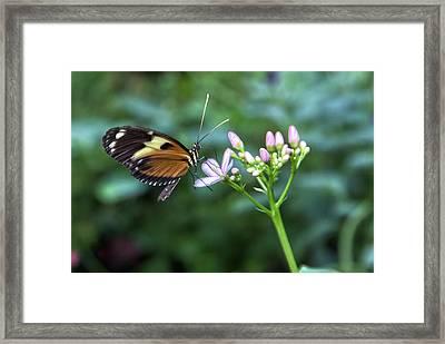 Butterfly4 Framed Print