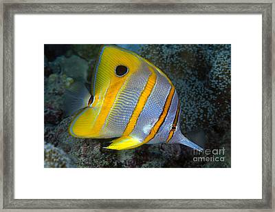 Butterflyfish Framed Print by Dave Fleetham - Printscapes