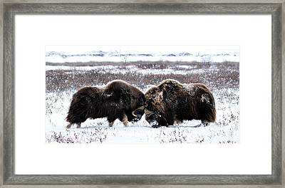 Framed Print featuring the photograph Butting Heads by Cheryl Strahl