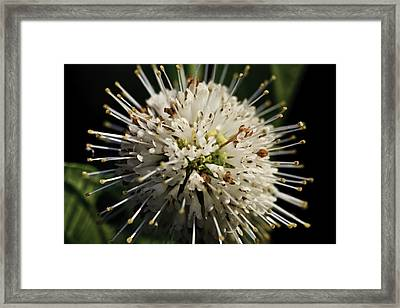 Framed Print featuring the photograph Buttom Bush by Perla Copernik