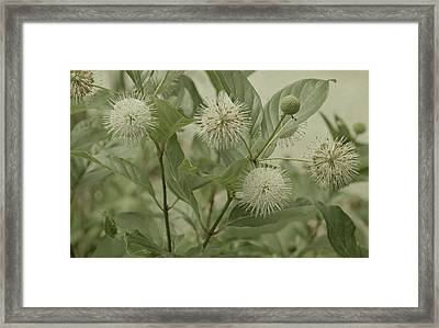 Button Bush Framed Print