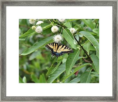 Button Willow Honeyball And Tiger Swallowtail Butterfly Framed Print by rd Erickson