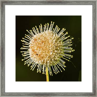 Buttonbush Flowers Framed Print by Morris Finkelstein