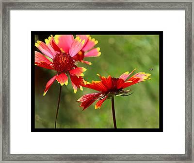 Buzzing Around Blanket Flowers Framed Print by Gretchen Wrede