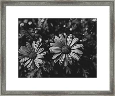 Bw Daisies Framed Print