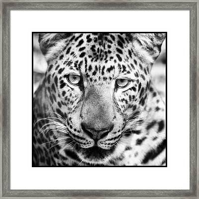 Bw Leopard Framed Print by Stephanie Hayes
