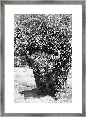 Bw Of Grazing Buffalo Framed Print