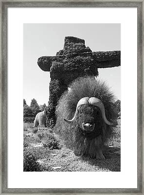 Bw  Of Northwest Territories Entry The Muskoxen Framed Print