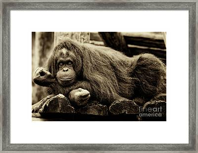 Bw Orangutan Framed Print by Stephanie Hayes