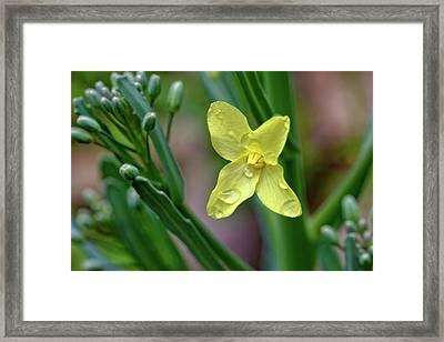 Cabbage Blossom Framed Print
