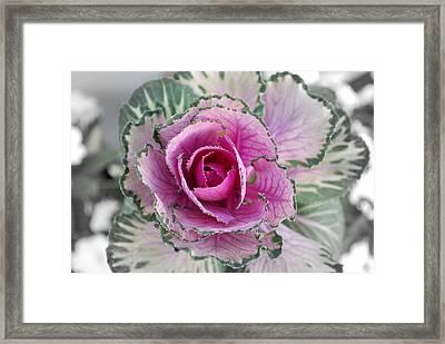 Cabbage  Flower Framed Print by Terence Davis