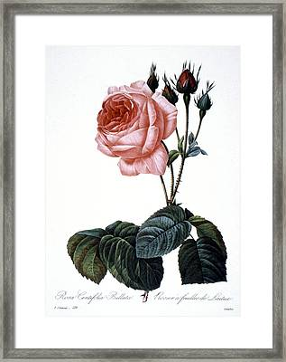Cabbage Rose Framed Print by Granger