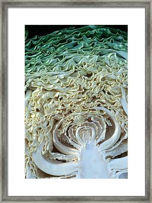 Cabbage Universe Framed Print by Laurie Paci