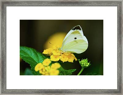 Cabbage White Butterfly Framed Print by Betty LaRue