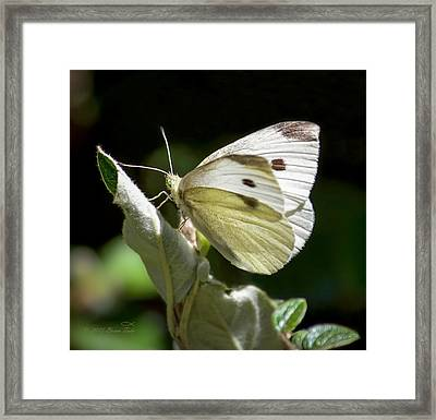 Cabbage White Butterfly Framed Print by Brian Tada