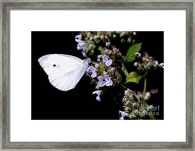 Cabbage White On Catnip Framed Print by Randy Bodkins
