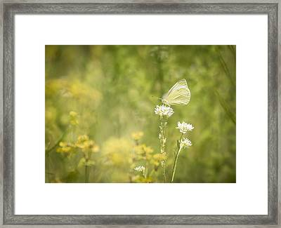 Cabbage White Framed Print by Thomas Young