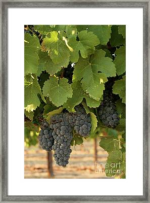 Cabernet Grapes Framed Print by Brooke Roby