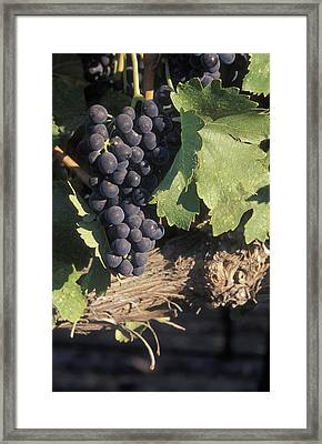 Cabernet Grapes On The Vine In Santa Framed Print by Rich Reid
