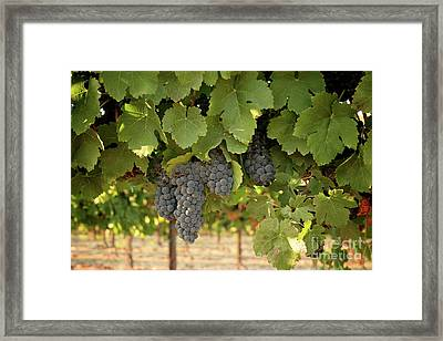 Cabernet Grapes One Framed Print by Brooke Roby