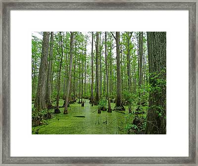 Cache River Swamp Framed Print by Sandy Keeton