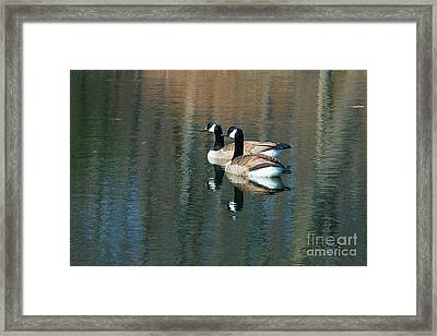 Cackling Geese Framed Print
