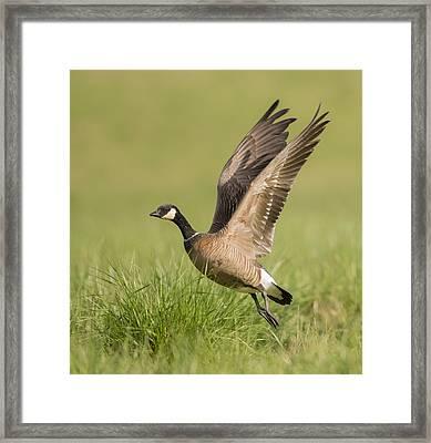 Cackling Goose Framed Print