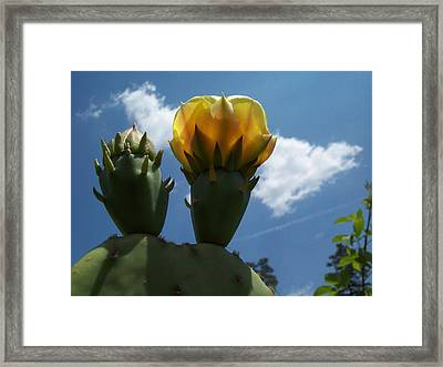 Cactus Beginning To Bloom Framed Print